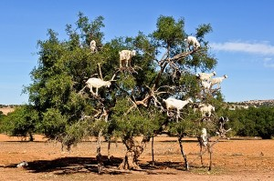 Koze na drevesu argana